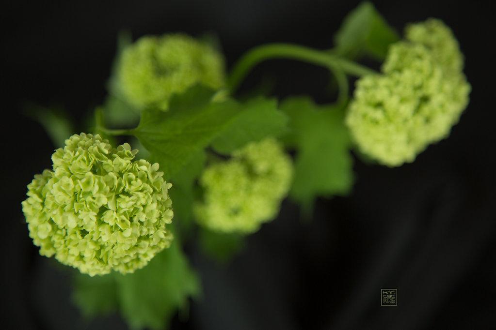 greenhortensiaoriginalred.jpg